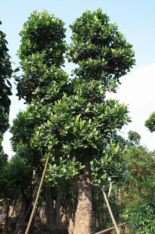 中国可以种植榴莲吗 菠萝蜜的栽培科技种植菠萝蜜